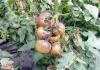 Виды болезней томатов в теплице и методы борьбы с ними