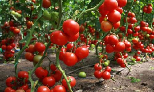 Удобрения для тепличных томатов: особенности выбора и правила внесения
