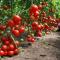 Изучаем, как выращивать помидоры в теплице: видео-инструкция по этапам
