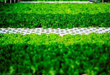 Одной из культур, которую высаживают в теплицу, является листовой салат