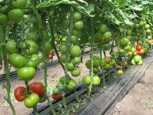 Иногда помидоры в теплице окрашиваются неравномерно из-за загущенности посадок