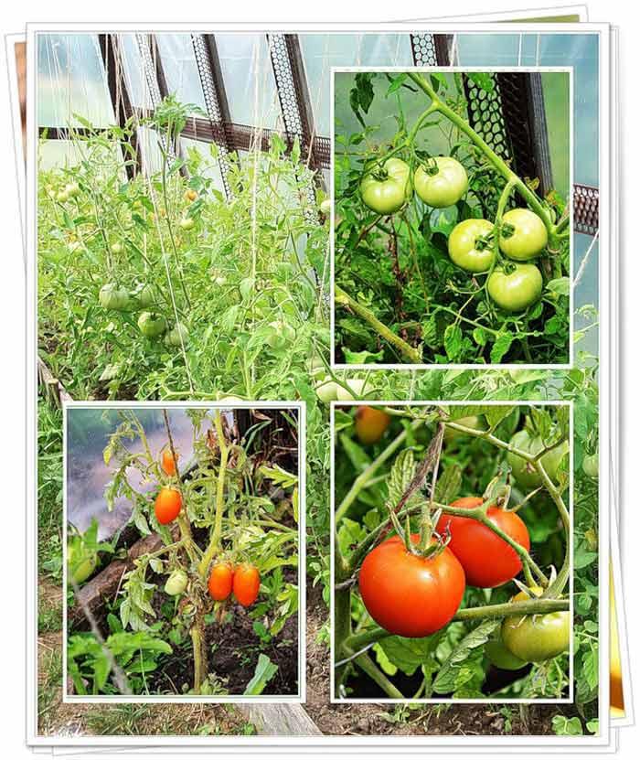 Тепличка для помидоров своими руками 1181