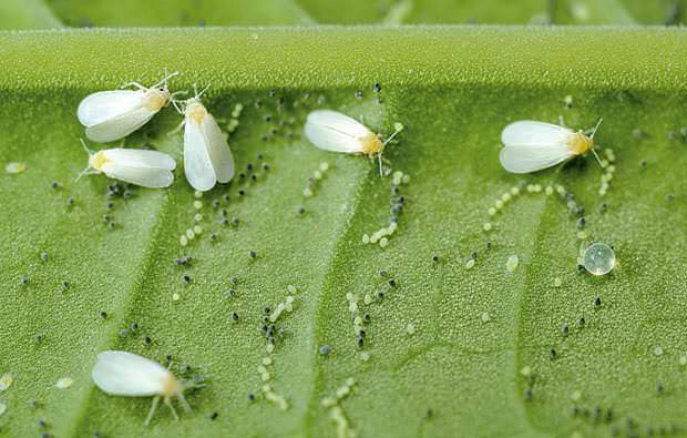 Крылатый вредитель имеет возможность преодолевать большие расстояния и создавать новые колонии