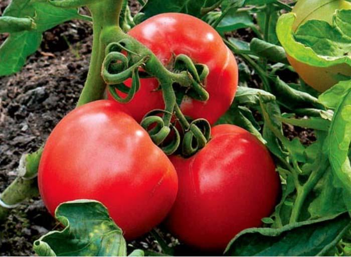 Сорт «F1 Гилгал» отличается отличной урожайностью – с кв. м можно собрать до 35 килограмм