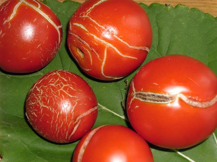 Перенасыщение почвы азотом - еще один негативный фактор, из-за которого помидоры могут трескаться