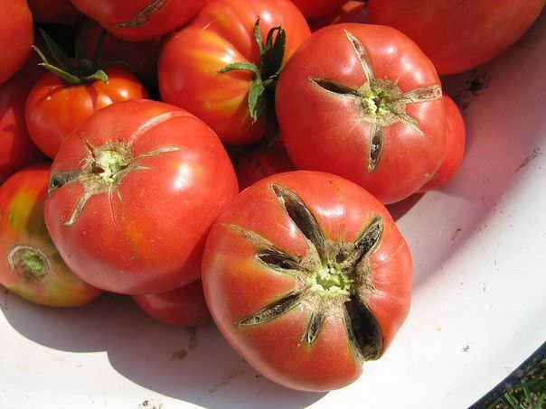 Чтобы помидоры в теплице не трескались, необходимо предохранять почву от высыхания