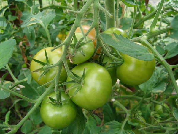 Долго не зреют плоды в основном по причине неблагоприятной температуры