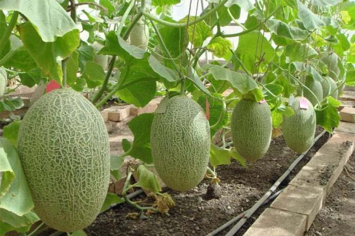Дыни, выращиваются в условиях теплицы с использованием шпалер, на которые производится подвязка растений в процессе роста