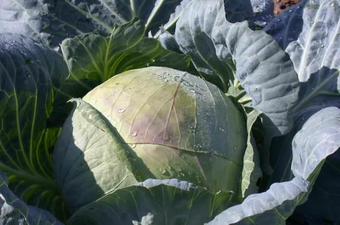 Урожайный, с крупными кочанами сорт белокочанной капусты – «Подарок»