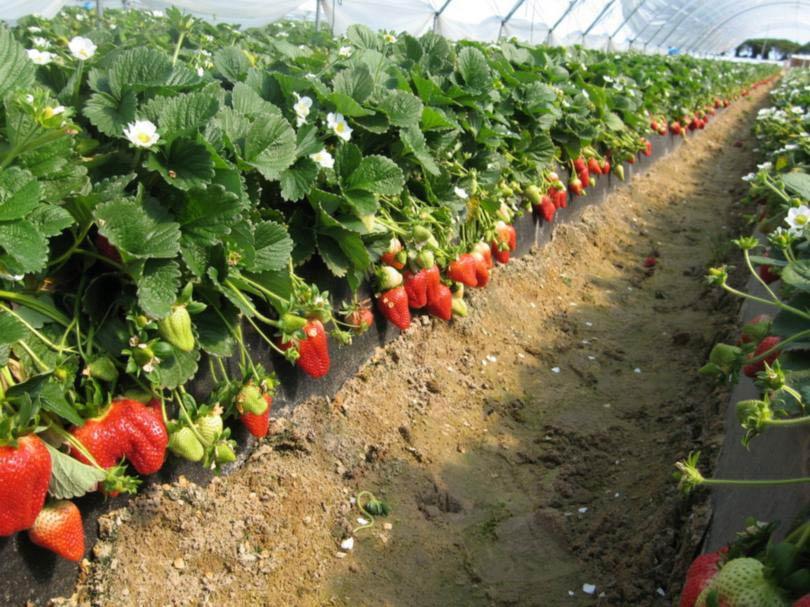 Выращивать клубнику можно не только в открытом грунте, но и в теплице. Но в помещении необходимо обеспечить растению искусственное опыление, иначе урожая не будет