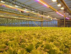 При равномерном распределении подсветки можно легко добиться увеличения урожайности в тепличных условиях