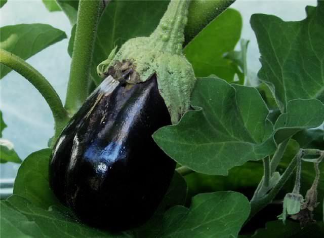 Выращивание баклажан в парниках и теплицах может осложняться атаками тли