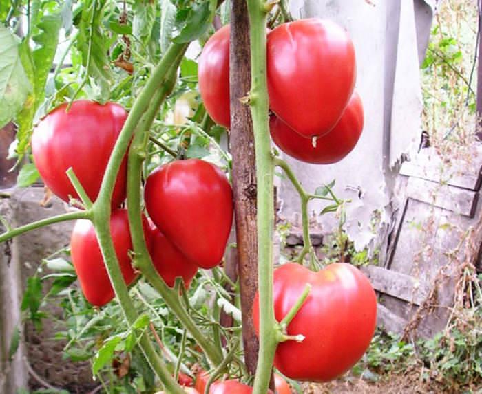 Для сорта «Чудо Земли» характерен великолепный сладкий вкус, урожайность высокая – до 4 килограммов с куста