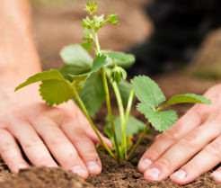 Чтобы получить высокий урожай в короткие сроки необходимо знать, как правильно посадить клубнику осенью или весной