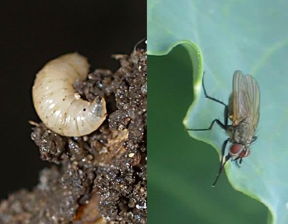 Наибольший вред капусте наносится личинкой капустной мухи весенней