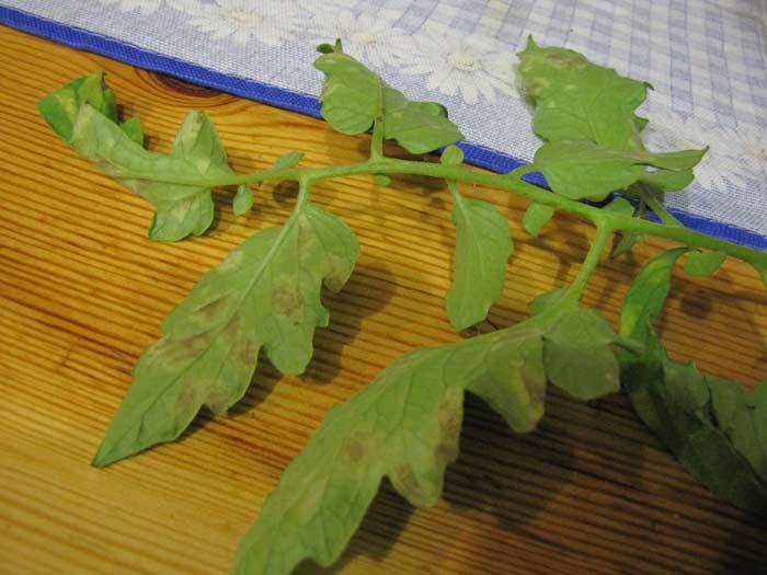 Причины появления серых пятен на листьях томатов