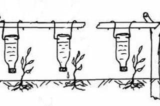 Наиболее удачным решением орошения тепличных перцев является установка системы капельного полива