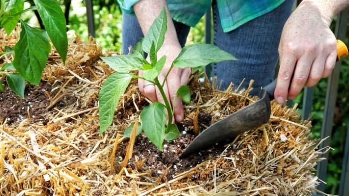 Пшеничная, овсяная солома или стеблевая люцерна являются дешёвыми и отличными временными материалами для высоких грядок