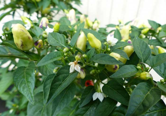 Проводить обрезку в теплице можно после достижения кустами высоты в 25 сантиметров. Если вы все сделаете правильно, растение начнет расти вширь, значит, сформируется множество боковых побегов, что благоприятно повлияет на урожай