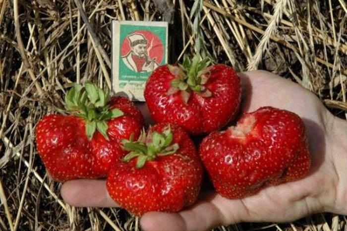 Если вы будете правильно ухаживать за клубникой, то добиться хорошего урожая ягоды будет несложно