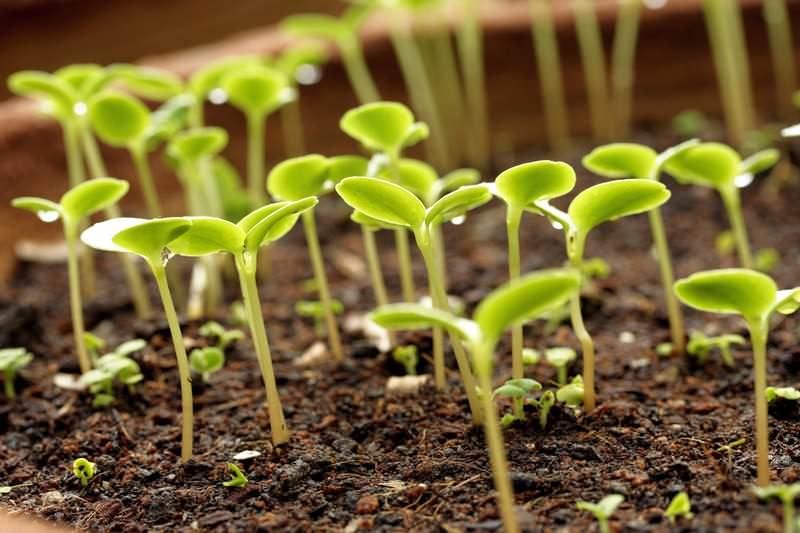 Обычно семена на рассаду высаживаются в феврале-марте