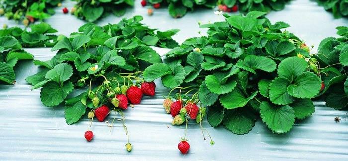 Выращивание ягоды может вестись и под агроволокном. В данном случае первоочередной задачей является приобретение подходящего материала