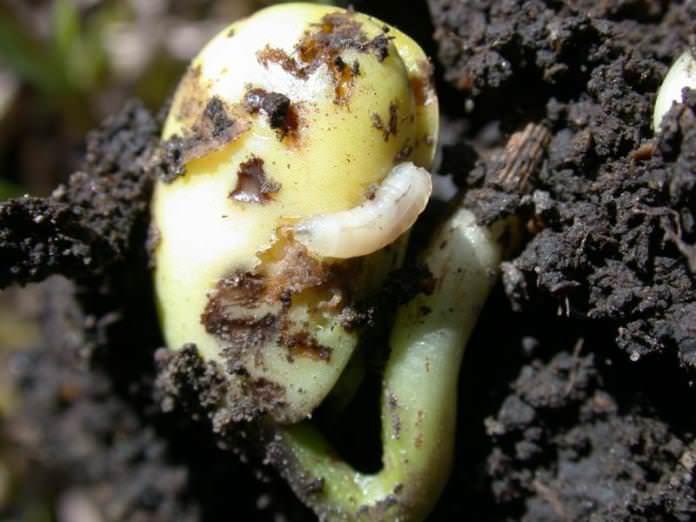 Вред перцу наносят взрослые насекомые ростковой мухи и их личинки, которые повреждают не только прорастающие семена перца, но также едят и молодые всходы овощной культуры