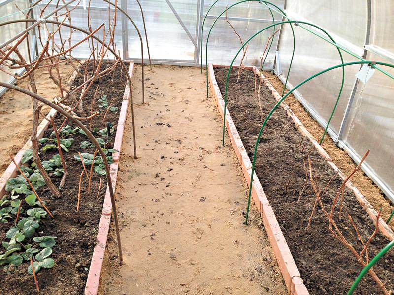 Выращивание винограда в теплице начинается с наступления теплой погоды