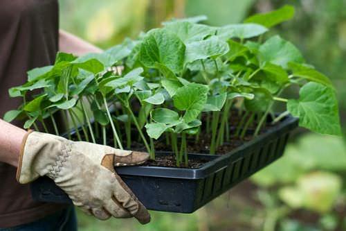 Для того чтобы посадить рассаду правильно, нужно обладать определенным опытом и знаниями