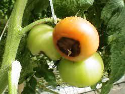 Такое грибковое поражение, как гниль очень опасно для томатов