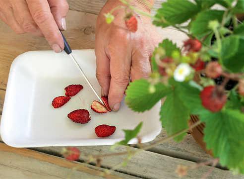 Вкусную и ароматную землянику можно вырастить из семян в теплице