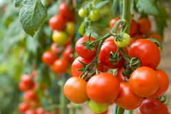 Урожай помидоров напрямую зависит от выбора сорта