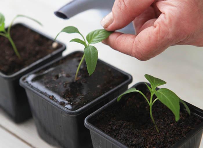 Рассада перца не переносит недостаточное освещение, что сразу вызывает вытягивание рассады и в дальнейшем приведет к снижению урожая