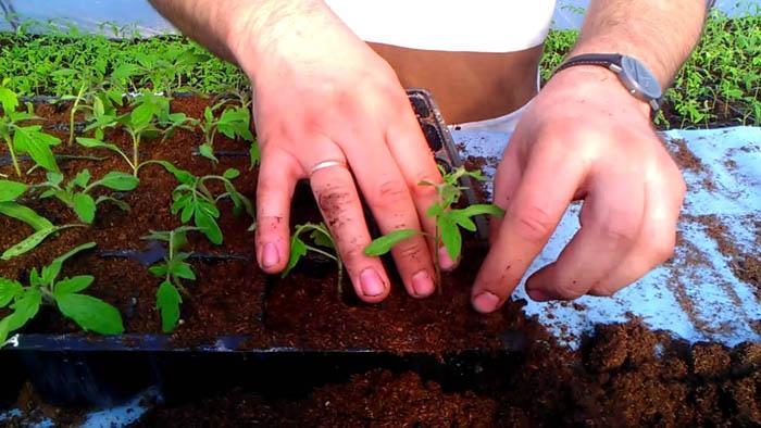 Сторонники пикировки утверждают, что пересаживание рассады по мере роста в большие по размеру горшки способствует развитию корневой системы и укрепляет растения