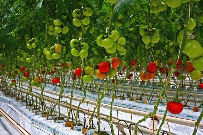 Ряд проблем у томатов, выращиваемых в теплице, связан с тем, что растениям не хватает сбалансированного питания