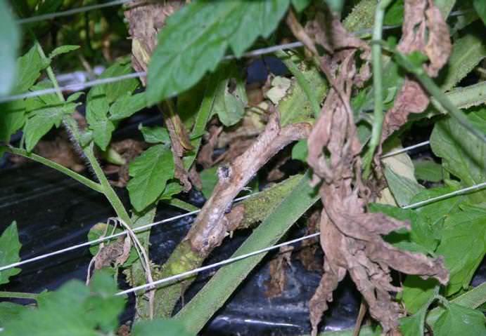 Существует несколько видов гнили, которая поражает помидоры, выращиваемые не только в теплице, но и на грядах открытого грунта