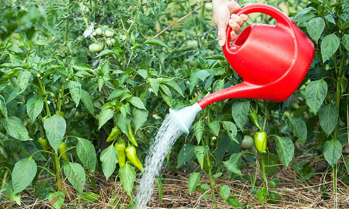 Кусты перца могут сохнуть из-за переизбытка влаги в почве