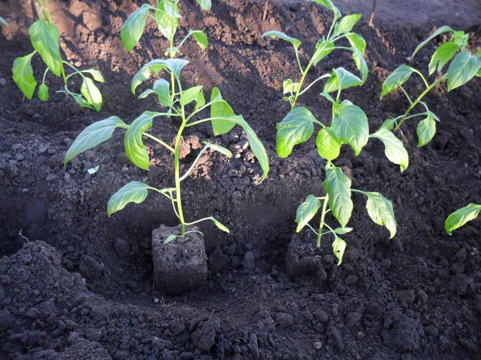 За 7 дней до высадки рассады перца ее необходимо опрыскать медным купоросом или раствором бордоской жидкости, что защитит растения от грибковых заболеваний