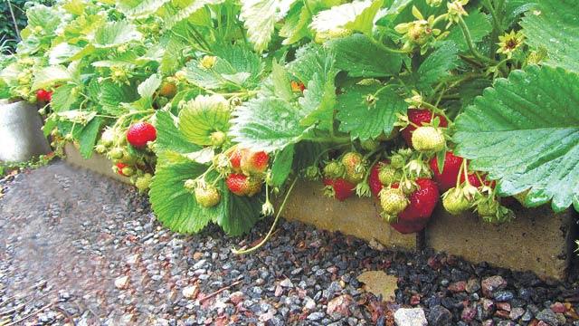 Если вы начинающий садовод, лучше отдать предпочтение наиболее простому методу посадки клубники