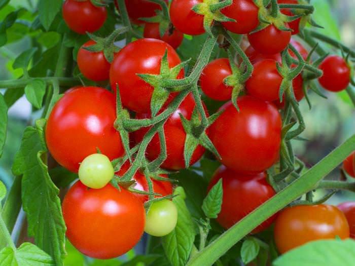 Сорт «Интуиция F1» поможет получить богатый урожай