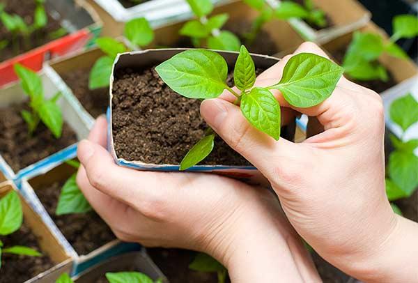 Удалите верхушку куста, тогда растение будет обладать хорошо развитыми побегами по бокам, куст приобретет компактную форму
