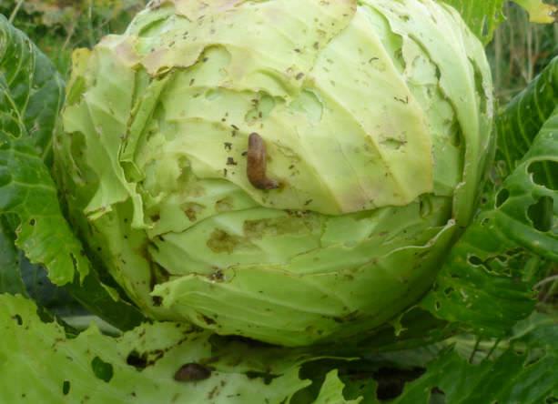 Основной удар вредители наносят по капусте, так как листья у растения довольно нежные, что важно для молодых особей