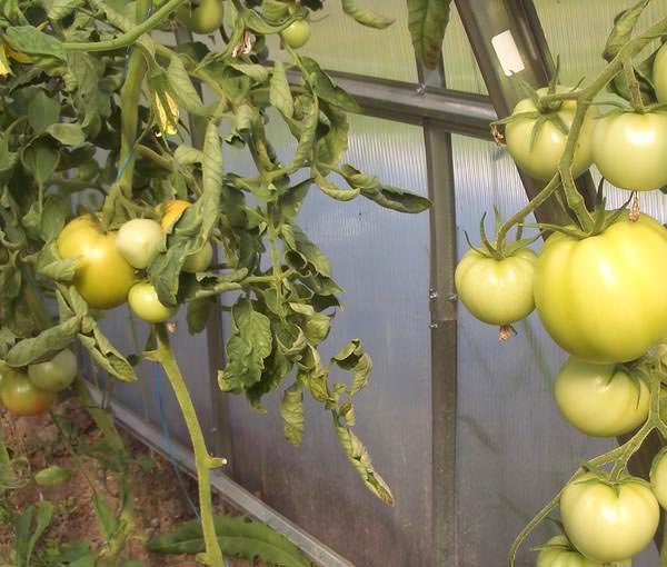 Чересчур высокая влажность воздуха влияет на размеры плодов