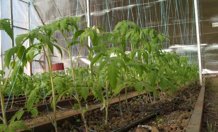 Пустоцветность томатов может возникать из-за загущенности посадок