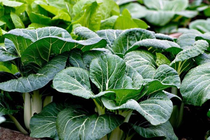 Выращивание капусты пак-чой позволяет получить стабильно высокий урожай