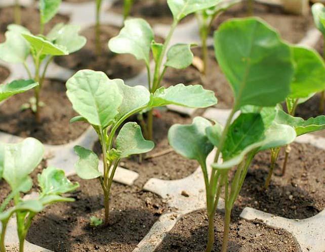 Выращивают брокколи в теплице  с помощью рассады