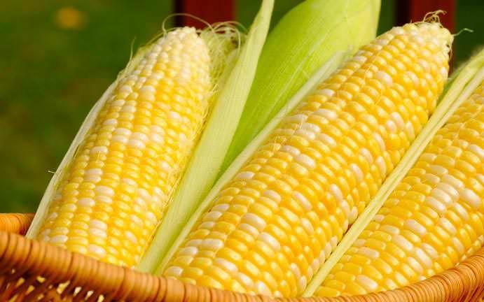 Популярная у наших соотечественников супер сладкая гибридная сахарная кукуруза «F1-Trophy»