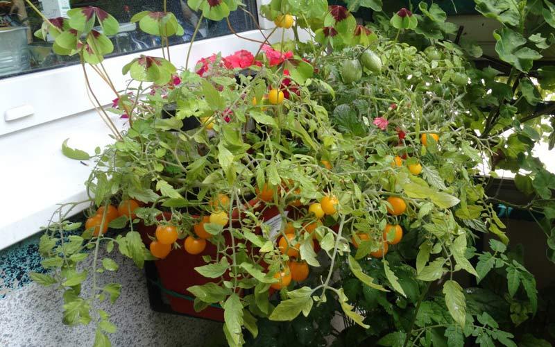 Виды помидоров
