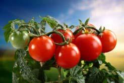 Сроки созревания помидоров в теплице могут варьироваться в зависимости от сорта томатов и способа выращивания