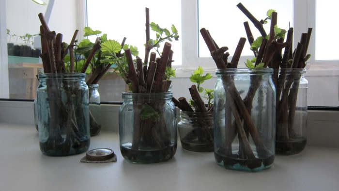 В домашних условиях вырастит виноград можно по Радчевскому